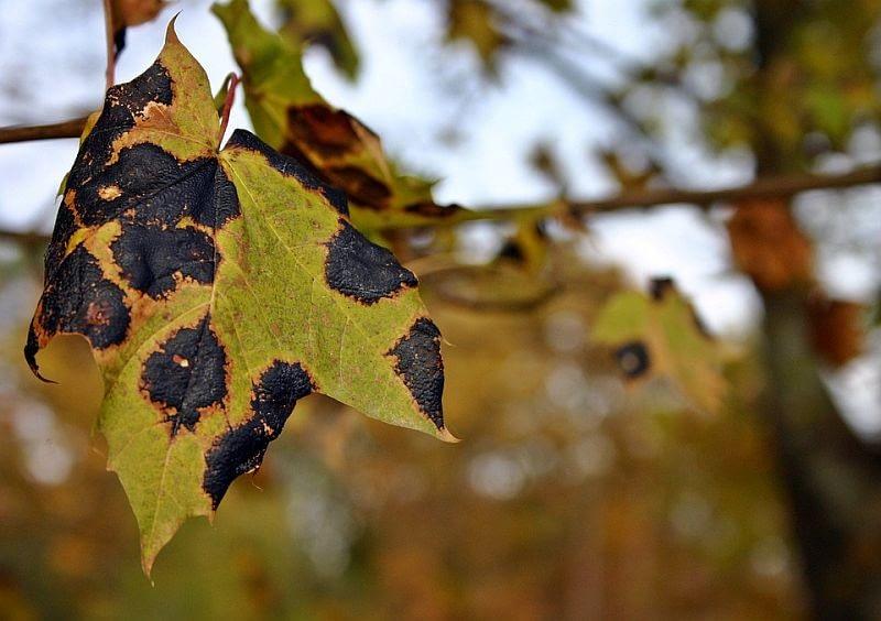 tar-stain-disease-1728438_960_720